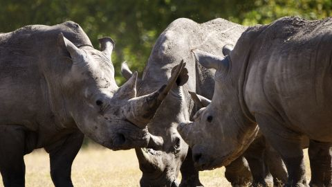 Najin, Fatu, Sudan and Suni were brought to the Kenyan conservancy from Dvur Kralove Zoo in the Czech Republic, which up until December 2009 had been their home.