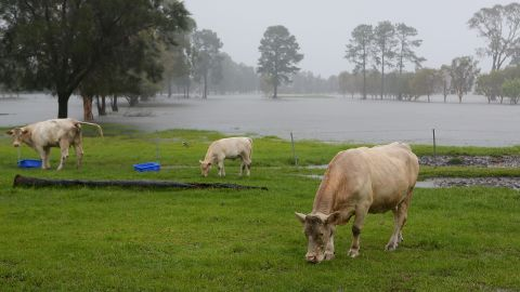 Cows graze near flooded farms in Gold Coast, Queensland, on January 28.