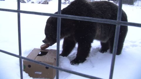 vo grizzly bear super bowl_00004714.jpg