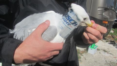 This herring gull was one of two birds found by a rescue group with beer cans shoved over their heads.