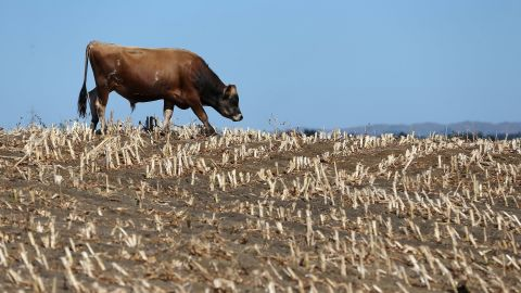 Cows search for edible grass in drought-stricken paddocks on March 12 in Waiuku, New Zealand. Drought was declared in several North Island areas last week,  including South Auckland, Northland, Bay of Plenty and Waikato.