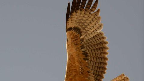 The majestic Bonelli's eagle in full flight.