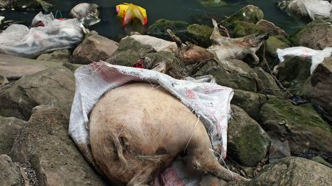 This picture taken on on March 12, 2013 shows dead pigs lying on rocks next to a dirty tributary of the Yangtze River in a village in Yichang, in central China's Hebei province, some 1,200 kms from the eastern city of Shanghai. Meanwhile, the number of dead pigs found in the Huangpu river running through China's commercial hub Shanghai has reached more than 13,000, state media said on March 18, as mystery deepened over the hogs' precise origin. GRAPHIC CONTENT CHINA OUT AFP PHOTOSTR/AFP/Getty Images