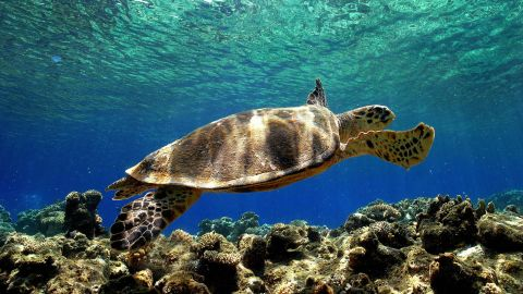 Upwards of one million sea turtles were estimated to have been killed as bycatch during the period 1990-2008, according to a report published in Conservation Letters in 2010, and many of the species are on the IUCN's list of threatened species.<br />
