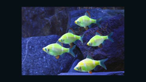 """Advances in biotechnology allow scientists to modify animals in ways that nature did not intend. <a href=""""http://www.glofish.com/"""" target=""""_blank"""" target=""""_blank"""">GloFish</a> carry a fluorescence gene that makes them """"glow"""" under a black light in a darkened room."""
