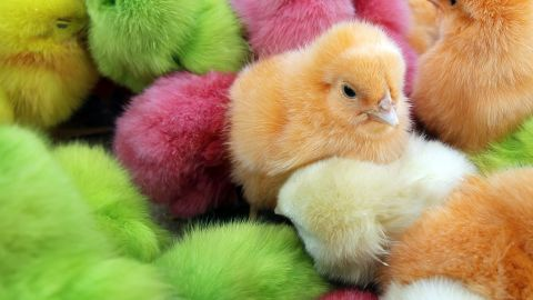 """Chicks have long been part of Easter celebrations in many parts of the world. In Lebanon, where the chicks pictured here were found, people traditionally buy <a href=""""http://www.mnn.com/earth-matters/animals/stories/dyed-easter-chicks-create-controversy"""" target=""""_blank"""" target=""""_blank"""">colored chicks, dyed with food coloring while they are still in their eggs</a>. Many animal rights activists frown on the coloring, as well as buying chicks as pets for Easter. <a href=""""http://www.marthastewart.com/924409/bunnies-ducklings-and-chicks-easter-time"""" target=""""_blank"""" target=""""_blank"""">Chickens can make fantastic pets, but chicks are difficult to raise.</a>"""