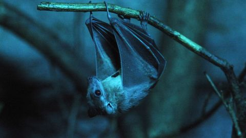 """Bats are an unmistakable hallmark of Halloween. An ancient tradition associated with the holiday is the <a href=""""http://www.lhj.com/relationships/family/crafts/halloween-history-traditions/?page=1"""" target=""""_blank"""" target=""""_blank"""">nighttime bonfire</a>, which lit up the night sky. Bats don't have ancient associations with Halloween, but the night sky does -- and that's often where bats can be seen."""