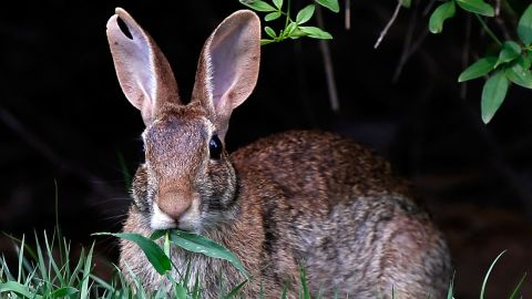 """The Easter Bunny has long been associated with Christianity's most important holiday. Rabbits are an ancient symbol of <a href=""""http://www.rabbit.org/journal/1/history-of-easter.html"""" target=""""_blank"""" target=""""_blank"""">fertility, the moon and spring</a>. In Germany, springtime celebrations including a magical egg-laying hare called <a href=""""http://www.history.com/topics/easter-symbols"""" target=""""_blank"""" target=""""_blank"""">Osterhase</a> helped lay the foundations for Easter baskets full of eggs and other goodies."""