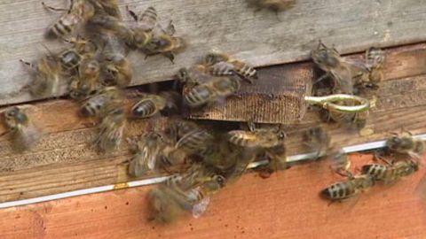pkg oakley honey bee crisis_00003610.jpg