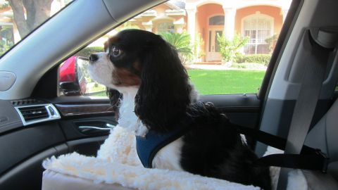 Debbie Bornstein from Florida bought a car seat for her Cavalier King Charles spaniel, Samson, who wanted to sit on her lap while she was driving. Now he has his own cushy seat, high enough to give him an excellent view.
