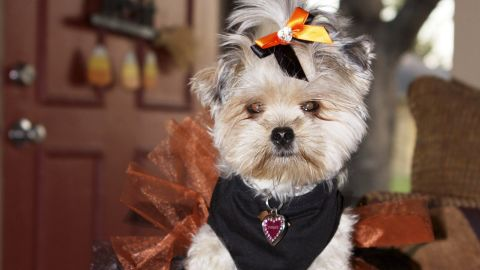 """Layla Torkzadeh's 4-pound Yorkie-Shih Tzu mix, Paisley, goes everywhere with Layla and gets her nails painted during """"pawdicures."""""""