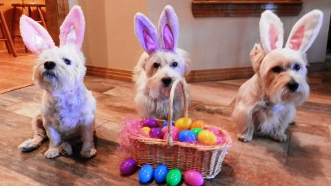 """Susan Roberts of Levelland, Texas, has three """"fur babies"""" -- West Highland terriers Bogart, Spencer and Holly. They have their own """"Christmas Westie"""" tree and costumes for every holiday."""