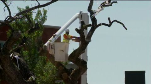 vosot auburn iconic trees cut down _00004309.jpg