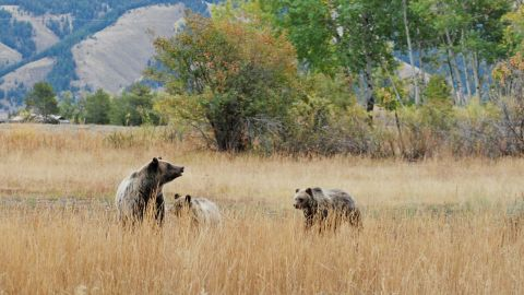 Grand Teton National Park in Wyoming, which came in eighth place, is home to grizzly bears (shown here), black bears and other wild animals.