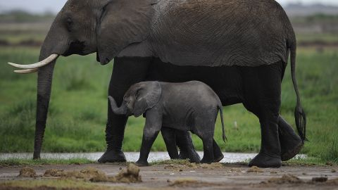 """An elephant walks with her infant in the Amboseli Game Reserve in Kenya. The International Fund for Animal Welfare says 2012 had the highest toll of elephants' lives in decades. Between January and March 2012, at least 50% of the elephants in Cameroon's Bouba Ndjida National Park were slaughtered for their ivory. Most illegal ivory is destined for Asia, in particular China, where it has soared in value as an investment and is coveted as """"white gold."""""""