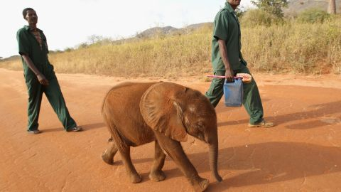 A 5-month-old orphaned elephant called Tembo is taken for a walk by his keepers at Tony Fitzjohn's Mkomazi Rhino Sanctury in Mkomazi, Tanzania.