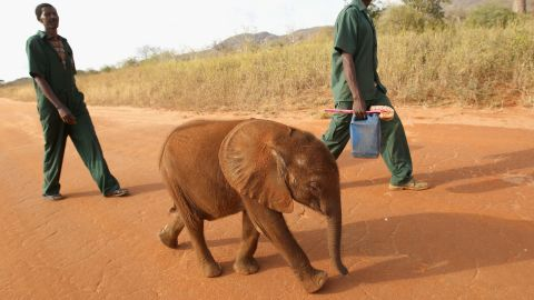 """""""The less elephants there are, the more the price rises; the more the price rises, the more people want to kill them. And this is an ever ongoing circle,"""" says Millar. Pictured: a young orphaned elephant is taken for a walk at Tony Fitzjohn's Mkomazi rhino sanctury in Mkomazi, Tanzania in June 2012."""