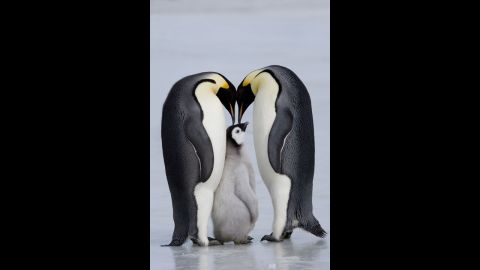 Emperor penguins usually mate for one year before moving on to a new partner.