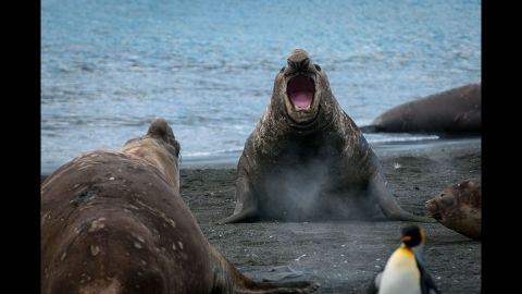 """Male elephant seals, or """"beach masters,"""" protect harems of more than 100 females from other males thinking of moving into their territories."""