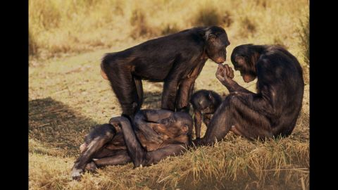 Primates such as chimpanzees and bonobo monkeys, pictured, do not conform to a mating system and regularly engage in frequent sex with multiple partners.