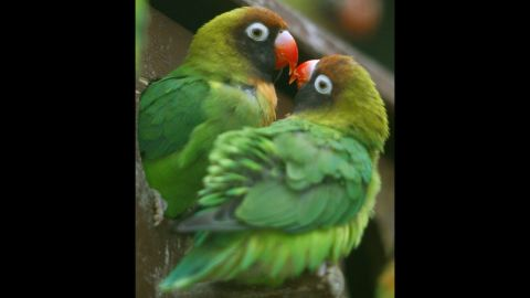 """Love birds mate and """"love"""" for as long the other mate stays alive. If one dies, the other develops a bond with another individual."""