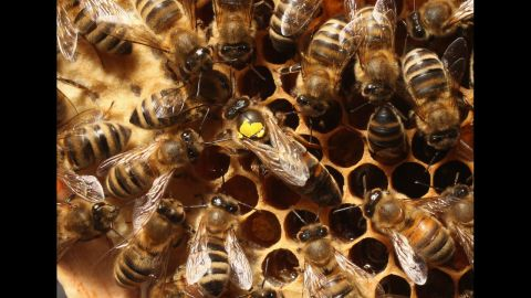 Queen bees mate with a very small number of male bees, drones, to produce many eggs.