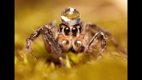 """Jumping spiders are known to """"dance"""" for their mates, performing a complex, zigzagging flamenco-like dance to entice the females.  Not only do they make moves, but they actually make a rhythmic vibrating song using their body movements."""