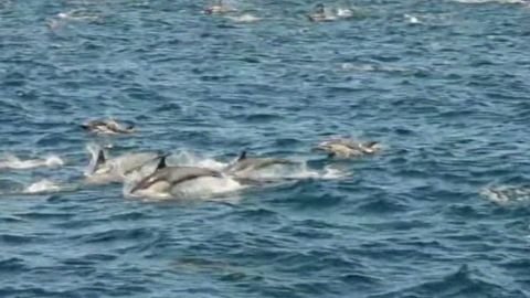 vo ca megapod dolphins_00000903.jpg