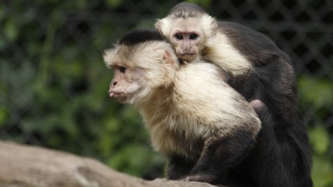 Mally is to start life with his new family of six other capuchin monkeys, three males and three females.