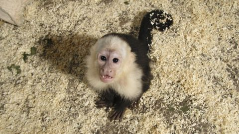 """Karl Heinz Joachim of the animal shelter told CNN in April that the monkey was """"not distressed"""" but was too young to have been taken from his mother."""