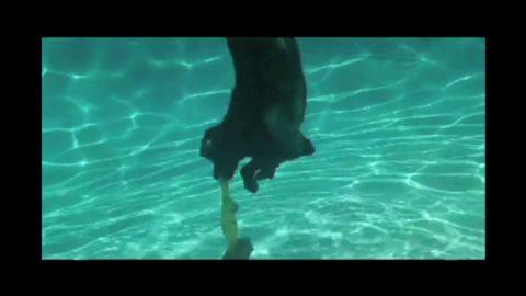 pkg diving labrador needs a home_00005103.jpg