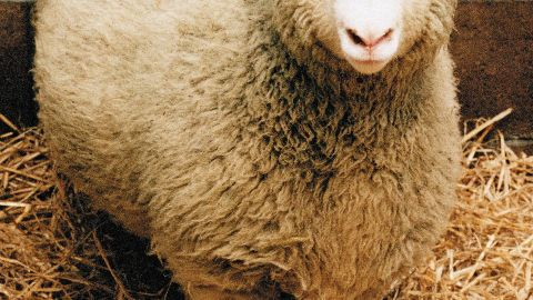 Dolly the Sheep, the world's first cloned mammal, is shown in this undated photo. Veterinarians gave Dolly a lethal injection February 14, 2003 at Scotland's Roslin Institute after they discovered signs of progressive lung disease. (Photo by Getty Images)
