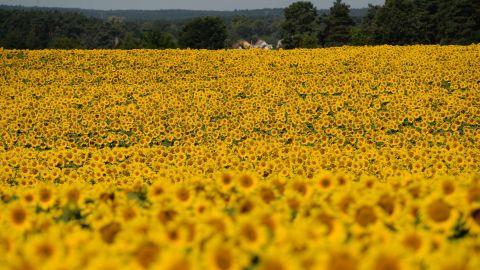 Sunflowers blossom on a field near Langerwisch, eastern Germany, on July 22.