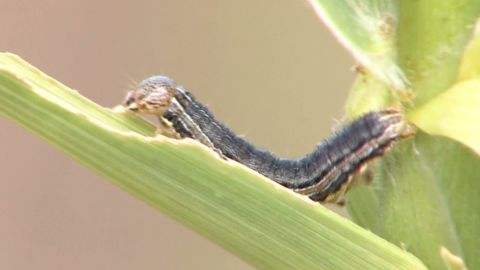 dnt army worms attack field_00003320.jpg
