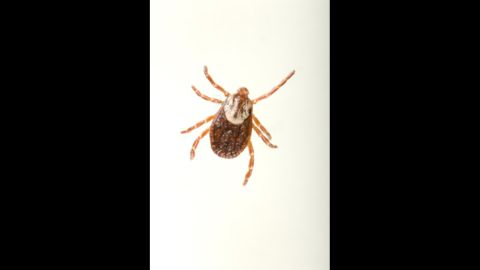 All ticks, like the one pictured, can carry harmful bacteria. Deer ticks, which aren't pictured, can carry Lyme disease.