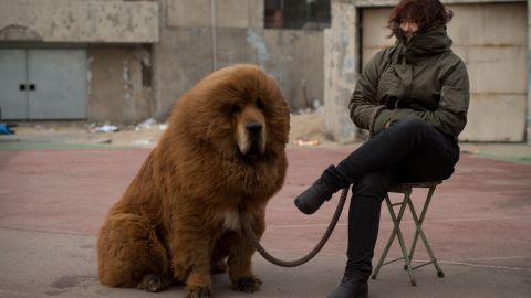 A Tibetan mastiff (not a lion).
