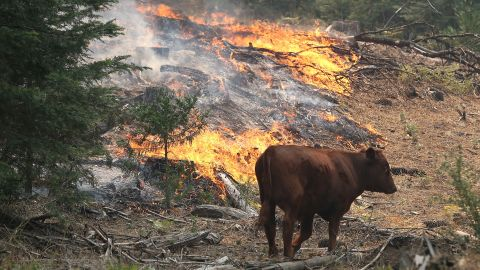A cow walks through a section of forest that was scorched by the Rim Fire outside of Camp Mather on August 24, near Groveland, California.