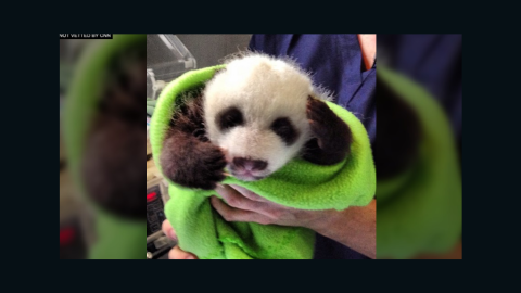Isn't he cute? Panda 'A' has darker markings and a narrower band. That's one way the zoo can tell the twins apart.