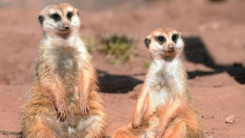 Very few animals can get their own reality TV show. Somehow, the meerkats pulled it off. Who's their agent?