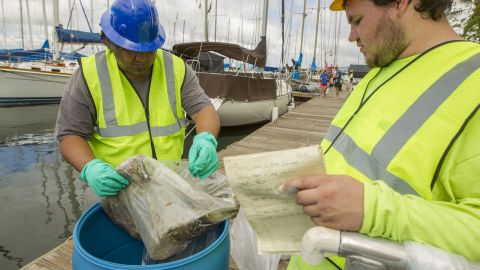 Pacific Environmental Corporation employees dispose dead fish into a barrel on the La Mariana Sailing Club dock in the Keehi Lagoon in Honolulu, Hawaii, on Thursday, September 12. A cracked pipe leaked about 233,000 gallons of molasses near the Honolulu harbor and is being blamed for the killing of marine life. The cracked pipe has been repaired and is no longer leaking molasses.