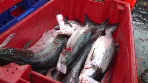 pkg chance uk climate change salmon_00011018.jpg