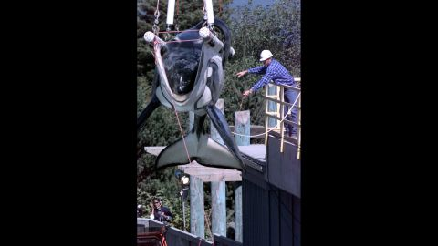 """The 1993 hit movie """"Free Willy"""" captured hearts and sparked a massive campaign to free Keiko, the orca that played """"Willy"""" in the movie, from the Mexican amusement park where he performed. Here, Keiko is being prepared to be released into the wild in 1998.  In 2002, Keiko spent five weeks journeying across the Atlantic to Norway. He wasn't quite ready to be independent, finding companionship among the Norwegian fishermen and children. He died in December 2003, most likely from pneumonia."""
