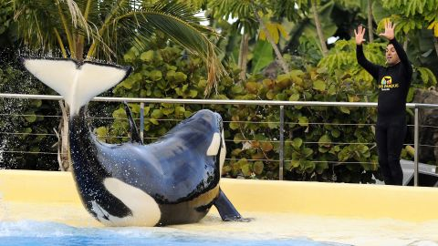 Image #: 16468841    epa03053005 A picture made available on 08 January 2012 shows a rescued killer whale named 'Morgan' during a training at the amusement park Loro Parque, in Tenerife, Canary Islands, Spain, 07 January 2012. The orca was rescued in June 2010 by a dolphinarium in Harderwijk, the Netherlands, after being found exhausted and starving in shallow waters in the North Sea.  (JAN KANNING/EPA/LANDOV)