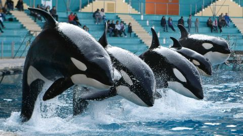 Today, there are 45 captive orcas performing at about 10 parks across the world, most of them born in captivity.   Here, orcas perform at the Marineland aquatic park in Antibes, in southeastern France.