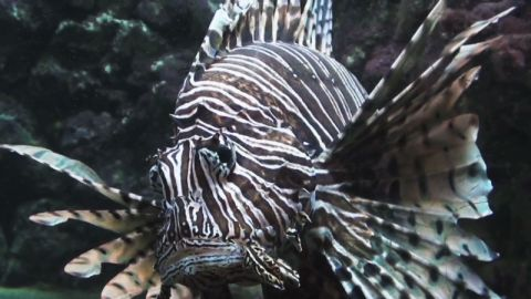 lionfish atlantic linendoll_00002009.jpg