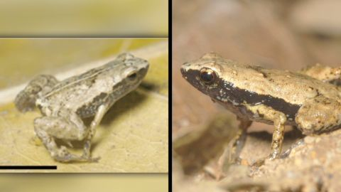 ansari mouth hearing frogs pkg_00012724.jpg