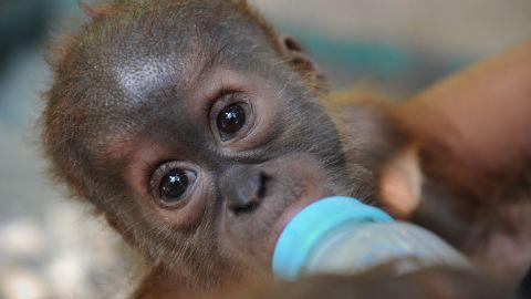 Veterinarians bottle-feed a rescued baby male Sumatran orangutan on Indonesia's Sumatra in April.