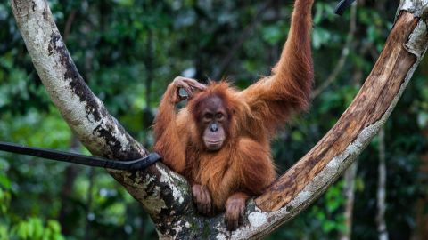 An endangered orangutan rests in a tree at a conservation center in Indonesia's Aceh province in March.