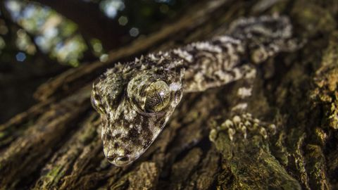 A James Cook University-National Geographic expedition to Cape York Peninsula in north-east Australia has found three vertebrate species new to science and isolated for millions of years—this leaf-tail gecko, a golden-coloured skink and a boulder-dwelling frog.