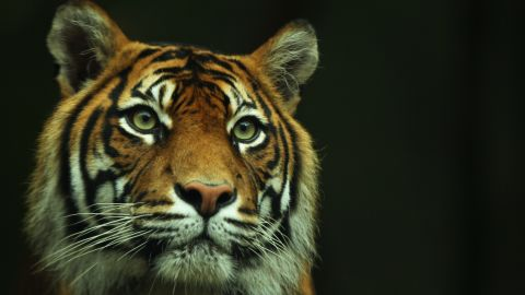 As recently as 1978 more than 1,000 Sumatran tigers lived on Sumatra. Now, thanks to high deforestation and poaching, their numbers have dwindled to around 400.